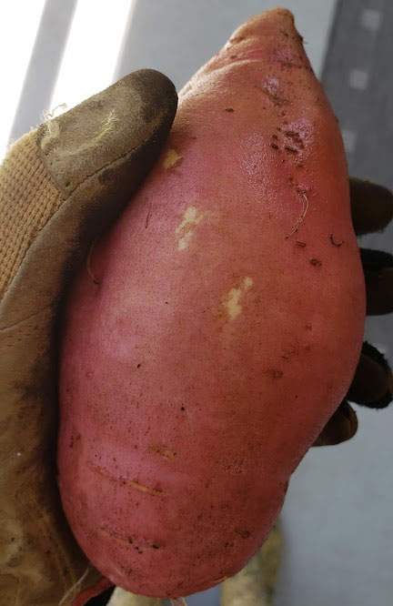 Sweet Potato Harvest